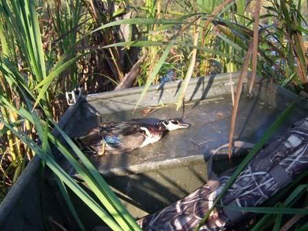Охота на утку и ее особенности