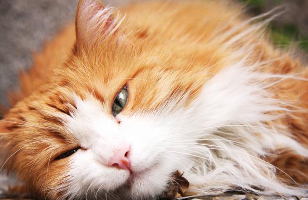 кошачья панлейкопения