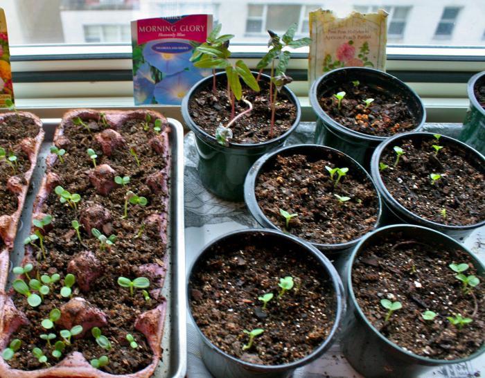 Как вырастить шток-розу из семян в домашних условиях на рассаду