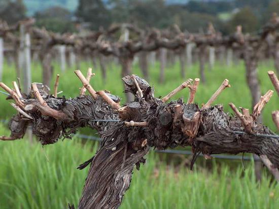 Обрезка винограда когда и как правильно ее делать - 2a