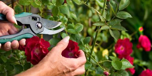 Уход и обрезка за комнатной розы