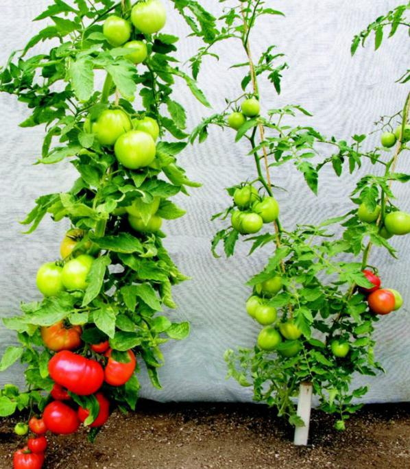 growing tomatoes and care