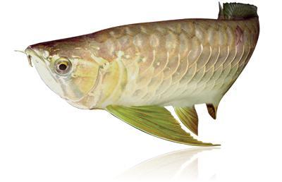 viviparous aquarium fish species photo