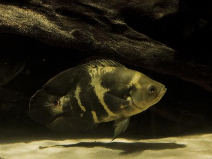 labyrinth aquarium fish species