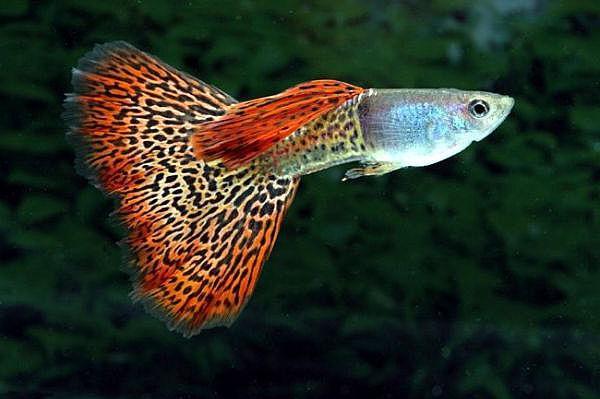 predatory aquarium fish