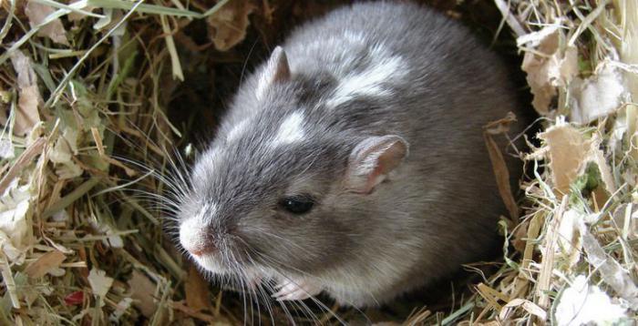 Земляная крыса как избавиться