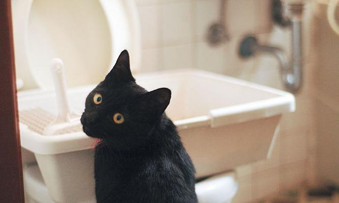 how to teach a cat to the toilet