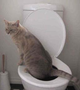to teach a cat to go to the toilet