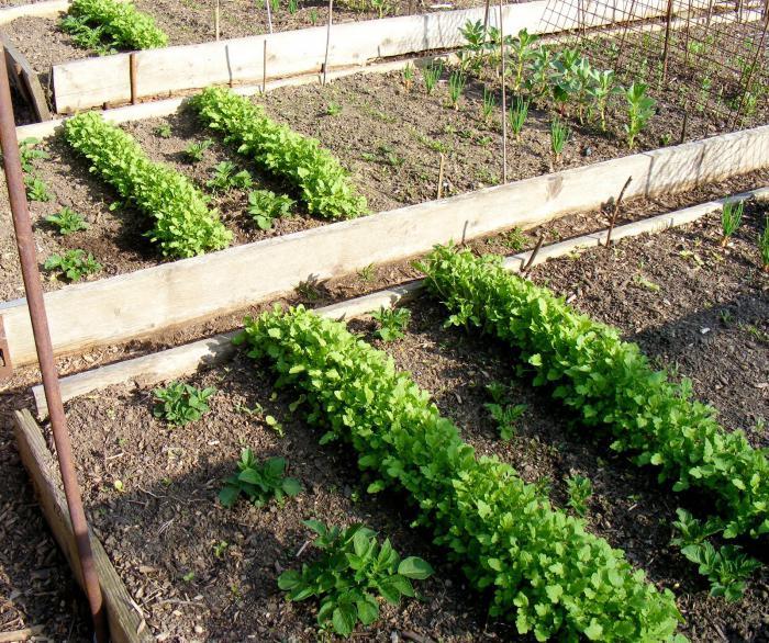 plant parsnip application