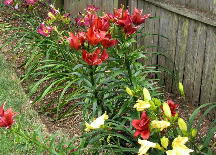 Уход при выращивании лилий 595