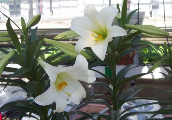 Как ухаживать за лилией садовой