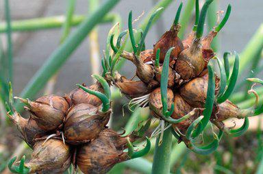Multi-tiered onion cultivation