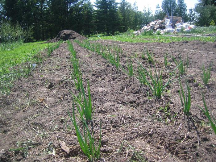 Planting tiered onions