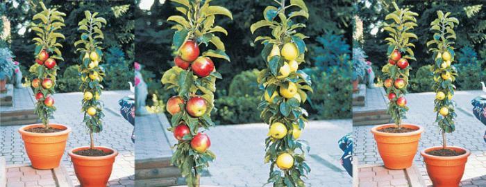 Колоновидные яблони (сорта)