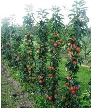 Яблоня колоновидная сорта для