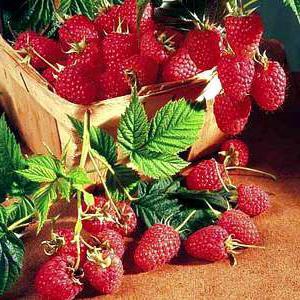 Raspberry tarusa raspberry tree