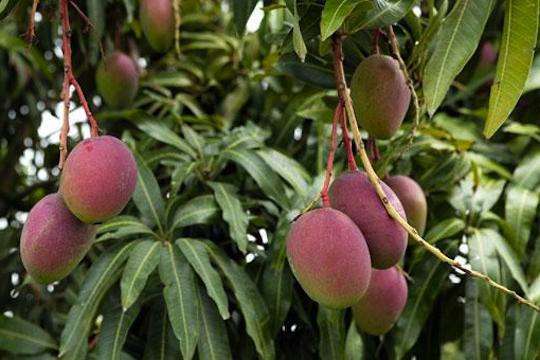 Calorie fresh mango