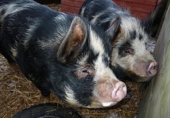 Комбикорм для свиней. Цена
