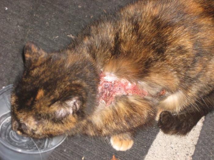 Инфекционные заболевания о котов