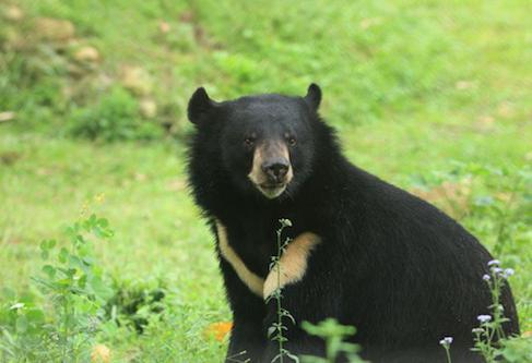 медвежья желчь от паразитов