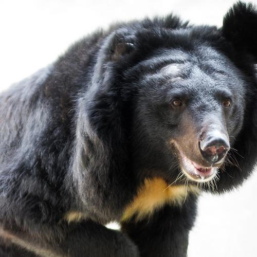 bear bile application