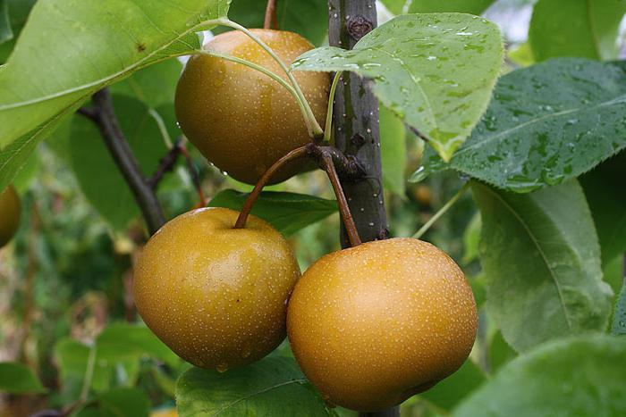 сколько калорий в яблоке груше