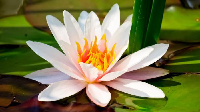 растение кувшинка белая