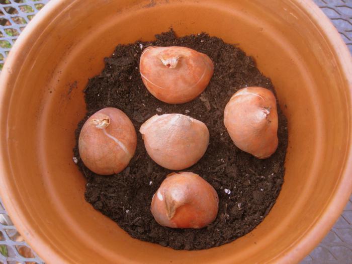 Выгонка тюльпанов к 8 марта в домашних условия