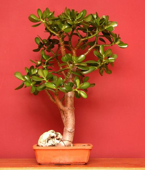 potted plants money tree