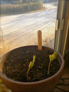 огурцы на подоконнике выращивание зимой в комнате
