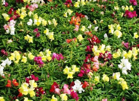 однолетние растения примеры