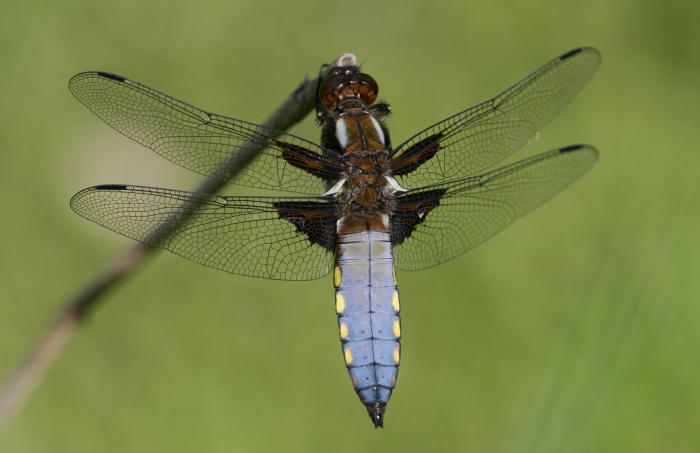 name dragonfly species