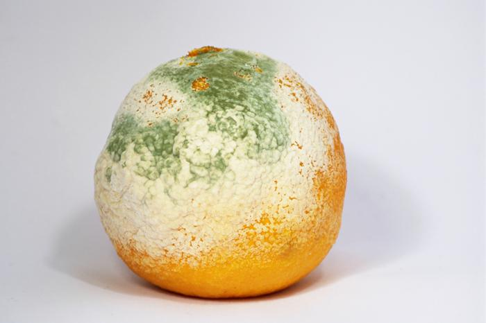mold fungi mukor