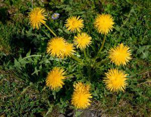 Культурные растения травы