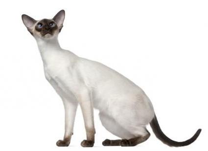 сиамские кошки характер