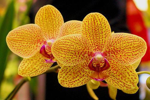 Орхидеи в комнатных условиях