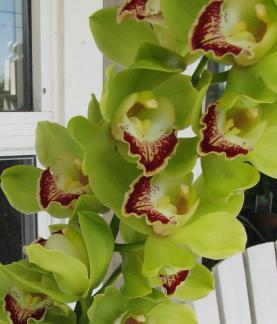 комнатные орхидеи: виды