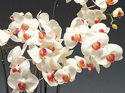 комнатный цветок, орхидея