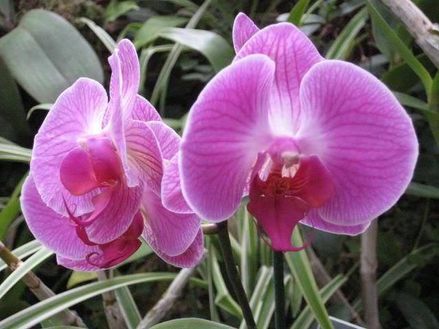 цветы комнатные: орхидея