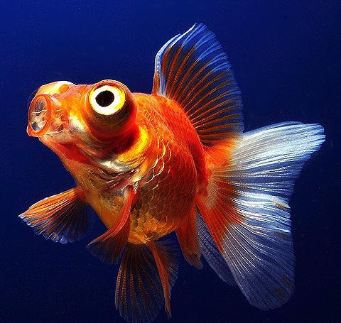 рыба телескоп фото