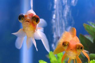 рыба телескоп содержание