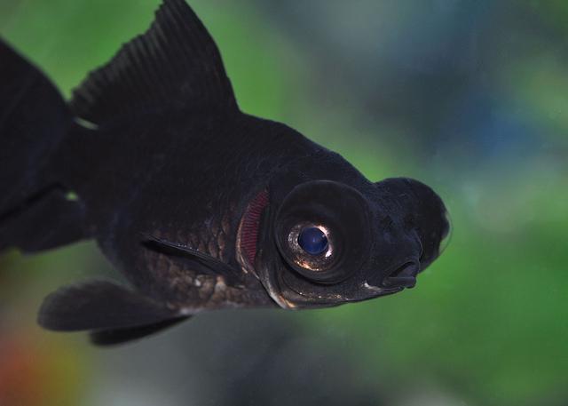 рыбы телескопы болезни