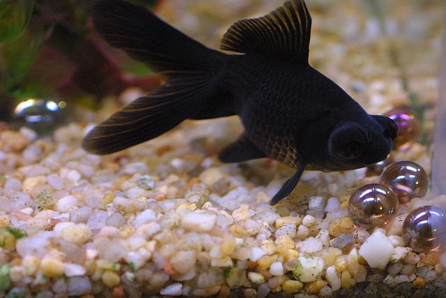 рыба аквариумная телескоп