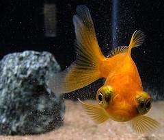 золотой телескоп рыба