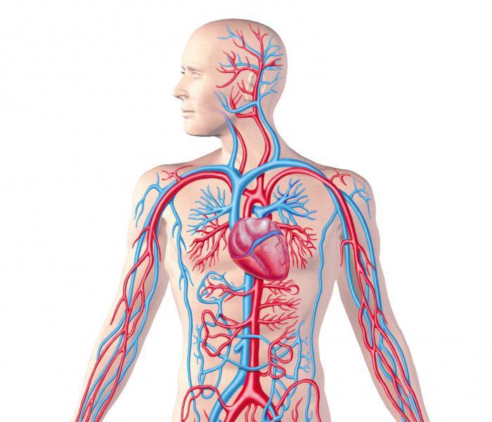 Регуляция кровеносных сосудов