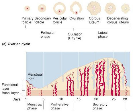 duration of the menstrual cycle