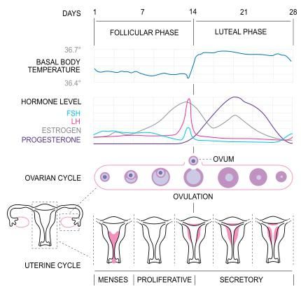 1 phase of the menstrual cycle