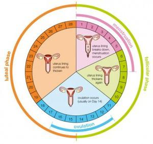 luteal phase of the menstrual cycle