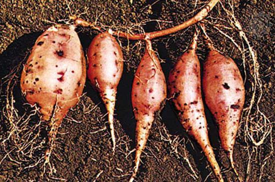 Сладкий картофель и секрет его приготовления
