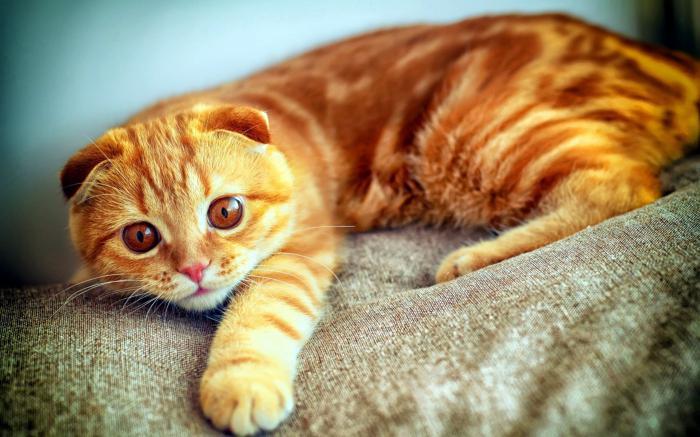 бело рыжий кот порода